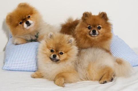 伊维菌素对狗的危害